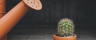 Сколько раз нужно поливать кактус