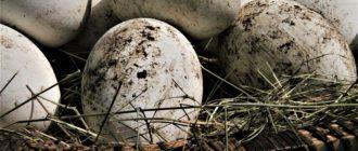 Сколько яиц несут гуси за год